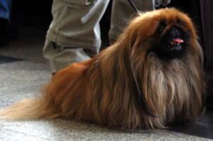 Hund Pekinesede Infos Informationen Pekinese Hund Bilder Fotos